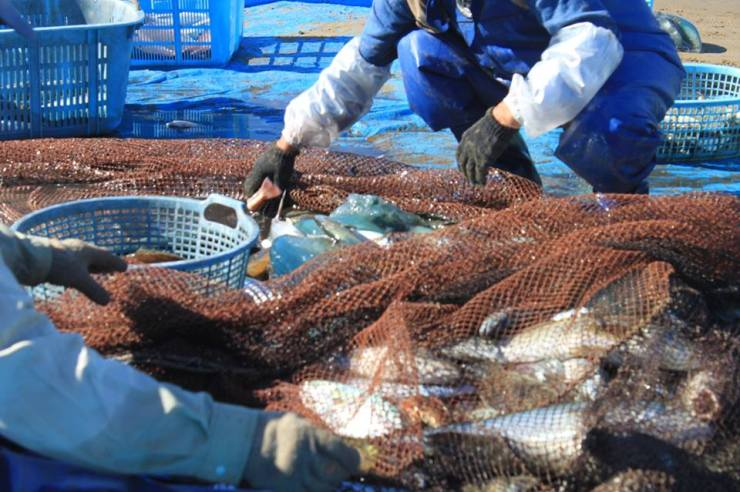 Sorting trough the catch. The Jelly fish get discarded